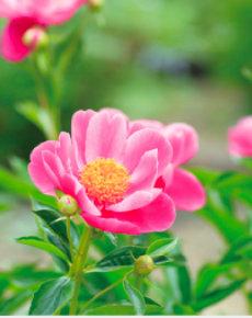 画像:5-6月 シャクヤク 花 (Flower Scene) 2018年カレンダー