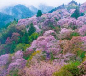 画像:3-4月 吉野山(奈良) 四季六彩 2018年カレンダー