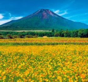 画像:7-8月 キバナコスモスと富士山(山梨) 富士山(フィルムカレンダー) 2018年カレンダー