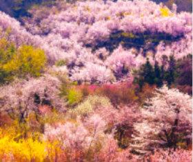 画像:3-4月 花見山付近(福島) 日本の詩情(フィルムカレンダー・小) 2018年カレンダー