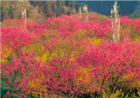 画像:3月 ラ・スカイファーム菊桃の丘(広島) 天地自然・森田敏隆写真集 2018年カレンダー
