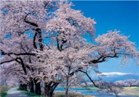画像:4月 白河堤と桜と蔵王山(宮城) 天地自然・森田敏隆写真集 2018年カレンダー