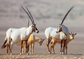 画像:10月 アラビアオリックス 世界動物遺産 2018年カレンダー