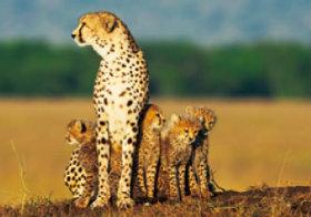 画像:11月 チーター 世界動物遺産 2018年カレンダー