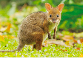画像:4月 アカアシヤブワラビー 世界動物遺産 2018年カレンダー