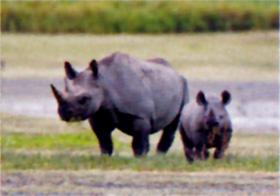 画像:6月 クロサイ 世界動物遺産 2018年カレンダー