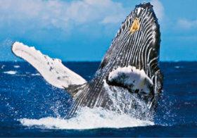 画像:8月 ザトウクジラ 世界動物遺産 2018年カレンダー