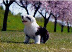 画像:3月 オールド・イングリッシュ・シープドッグ Dog&Cat 2018年カレンダー