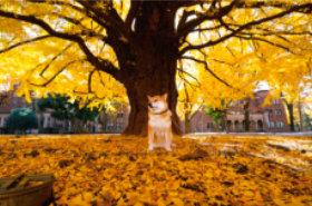 画像: 柴犬まるとおさんぽ 2019年カレンダー