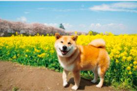柴犬まるとおさんぽ 2019年カレンダーの画像