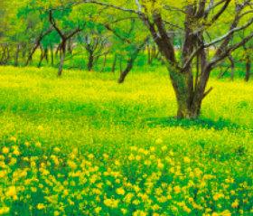 画像:高知県 四万十川河川敷 菜の花 日本の朝 2019年カレンダー
