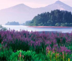 画像:福島県 桧原湖のミソハギ 日本の朝 2019年カレンダー