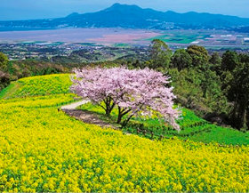 画像:長崎県 白木峰高原 菜の花と桜 ザ・日本 2019年カレンダー