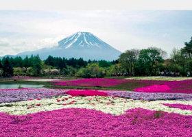 画像:松尾治撮影「シバザクラ満開」 富士の四季 2019年カレンダー