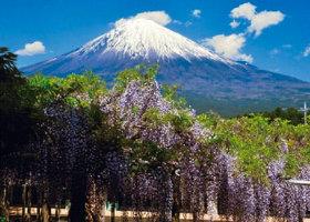 画像:松尾治撮影「藤棚」 富士の四季 2019年カレンダー