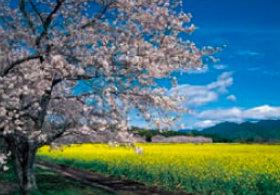 画像:森田敏隆 撮影「菜の花畑と桜並木」 天地自然・森田敏隆写真集 2019年カレンダー