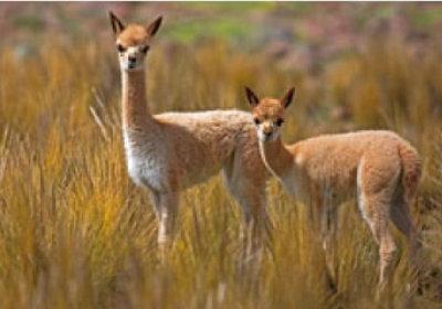 画像:ビクーニャ 世界動物遺産 2019年カレンダー