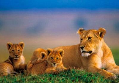 画像:アフリカライオン 世界動物遺産 2019年カレンダー