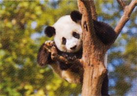 画像:ジャイアントパンダ 世界動物遺産 2019年カレンダー