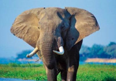 画像:アフリカゾウ 世界動物遺産 2019年カレンダー