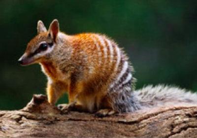 画像:フクロアリクイ 世界動物遺産 2019年カレンダー
