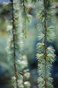 weeping-pine-1395101