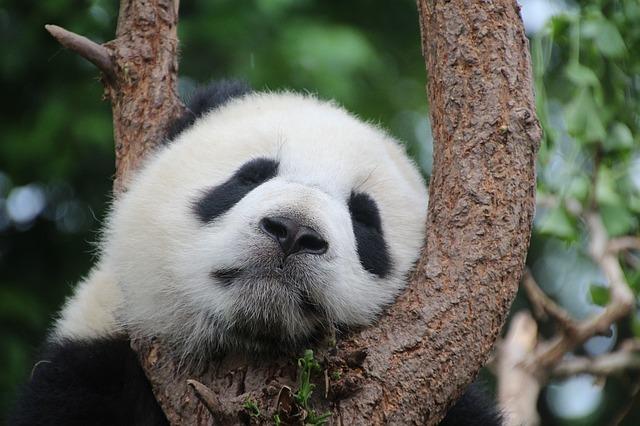 パンダの画像