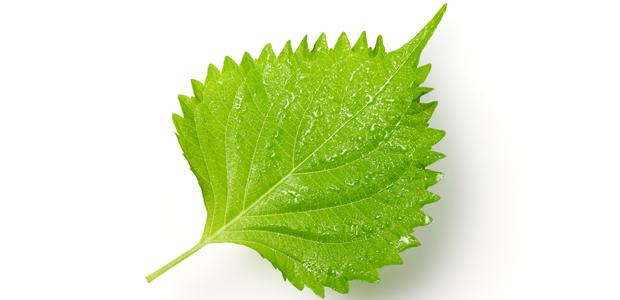 【Dr.野菜ソムリエのコラム】vol.8: 青ジソ(大葉)の香りで気分の安らぎを