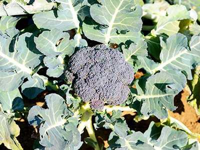 ブロッコリー 花 の つぼみ