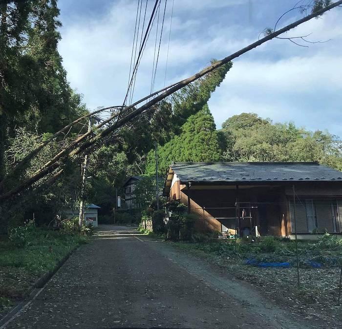 台風で倒れた植林杉