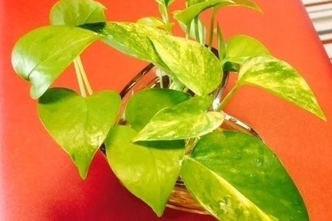 【インテリア】グリーンで心を癒す!観葉植物の配置方法(室内編)