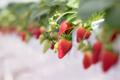 年中イチゴを楽しめる「東京ストロベリーパーク」でHALLOWEEN WEEKを開催