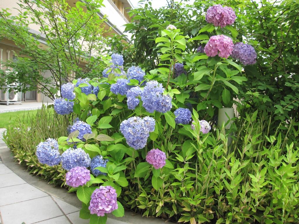 イリーゼ浦和大門で咲いている紫陽花