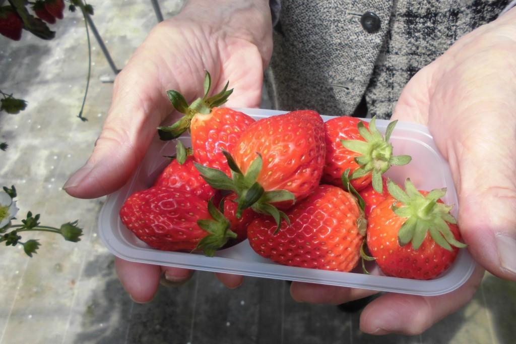 大粒のイチゴ狩りに成功しました。イリーゼ浦和大門のお客様と