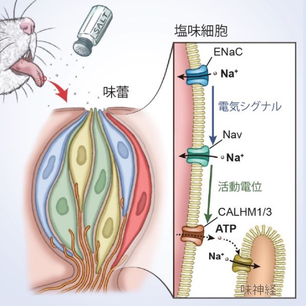 共同発表:舌で「おいしい」塩味を感じる仕組みが明らかに~味蕾において塩味を受容する細胞とその情報変換の分子メカニズムを解明~