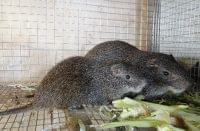<ガーナ>ネズミが救う砂漠の栄養…京大教授ら食用飼育研究 - BIGLOBEニュース