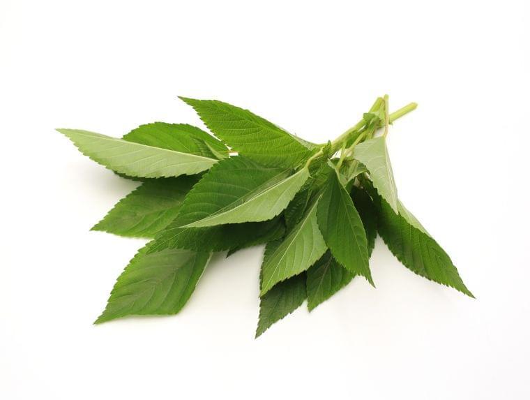 【管理栄養士監修】6月の旬の野菜「モロヘイヤ」の栄養素や歴史