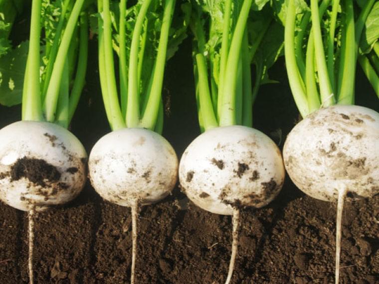 葉の栄養がスゴイ!おいしいカブの見分け方・調理法【野菜ガイド】  –  マイナビ農業