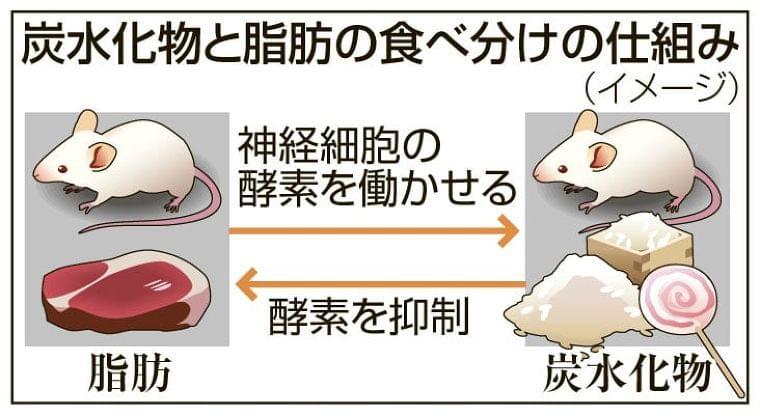 食物選ぶ神経細胞をマウスで特定 「ストレスで過食」解明も - 共同通信