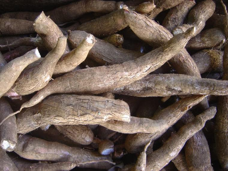 遺伝子組み換えされた「栄養強化キャッサバ」がアフリカを栄養失調から救う | ニコニコニュース