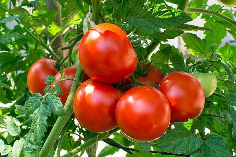 【夏野菜】旬を味わおう! 栄養たっぷりなトマトフル活用レシピ | マイナビウーマン子育て