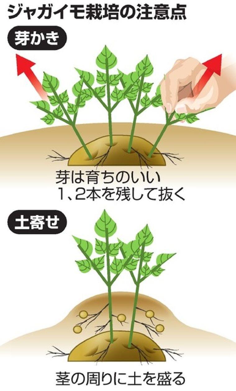 ジャガイモ食中毒、9割が学校菜園 「栽培法の周知を」:朝日新聞デジタル