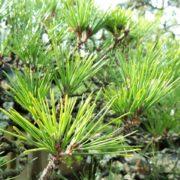 庭木の手入れがされた松の写真
