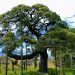 伐採前の松の木の写真