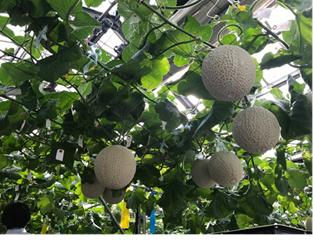 富士通、埼玉県越谷市と共同でIoTを活用したメロン水耕栽培の研究を開始