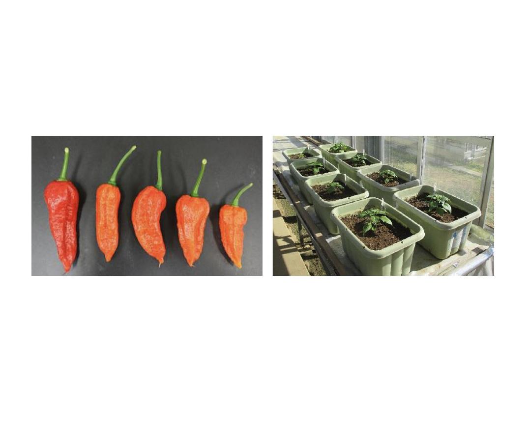 味の素×JA×川崎市 | 3者連携の栽培実証・共同研究によりハーブペッパー『香辛子』が誕生