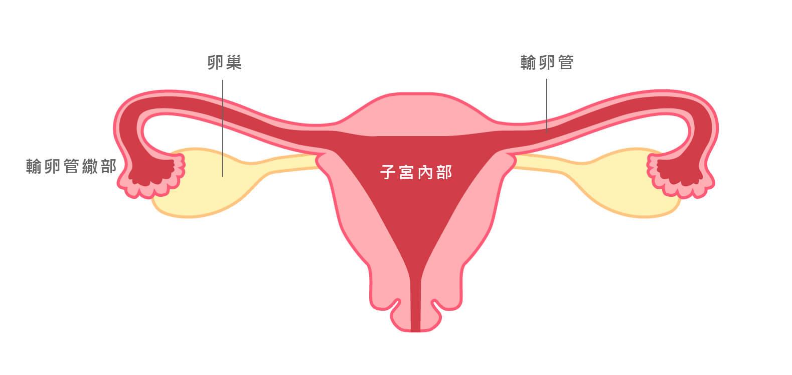 子宮基本構造
