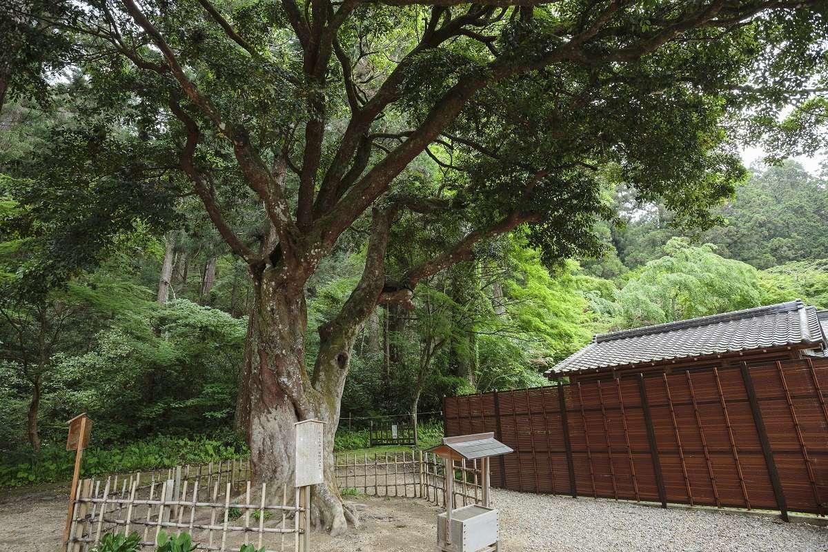 森町、小國神社、ひょうの木