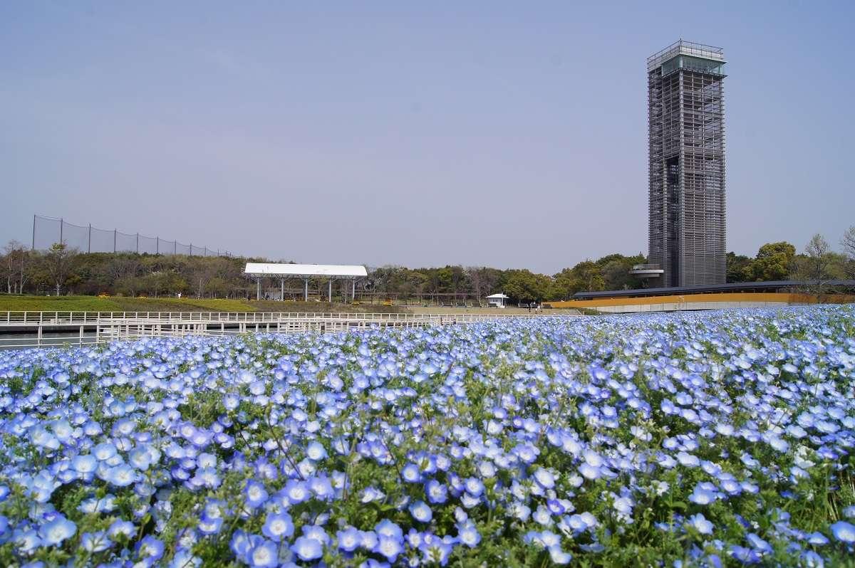 浜松市西区、浜名湖ガーデンパーク、ネモフィラ