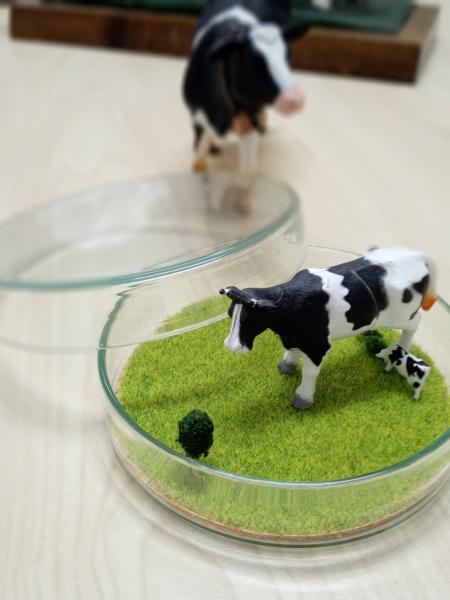 シャーレー牛の放牧